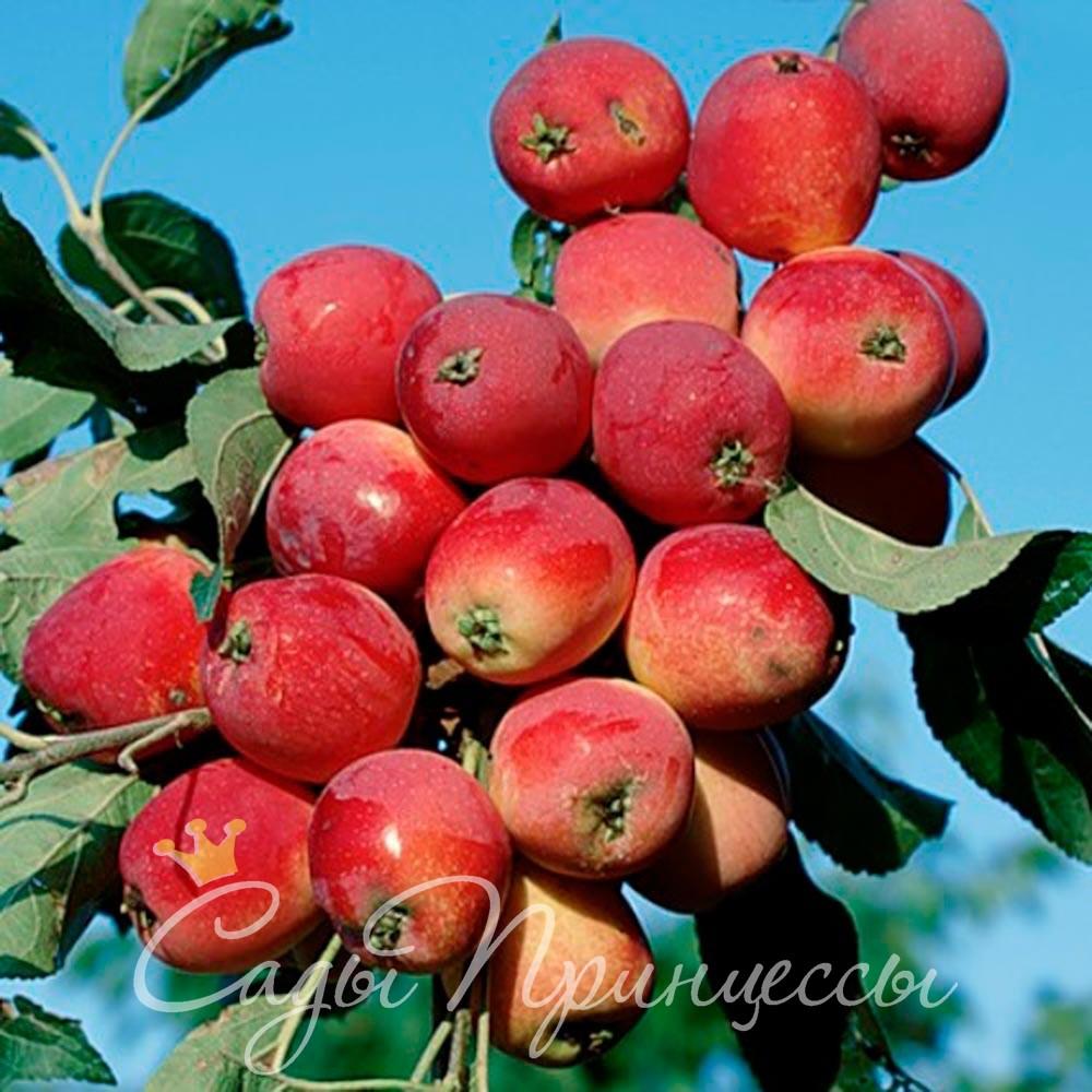 На фото сорт Яблоня Китайка красная