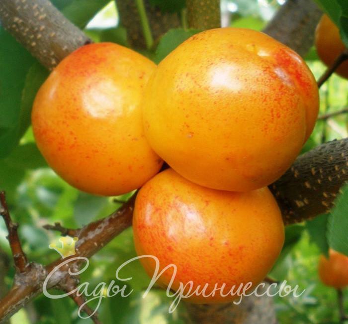 На фото сорт Априум (Плумкот, Плуот — гибрид абрикоса и сливы)