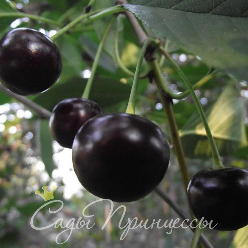 На фото сорт Вишня Россошанская черная