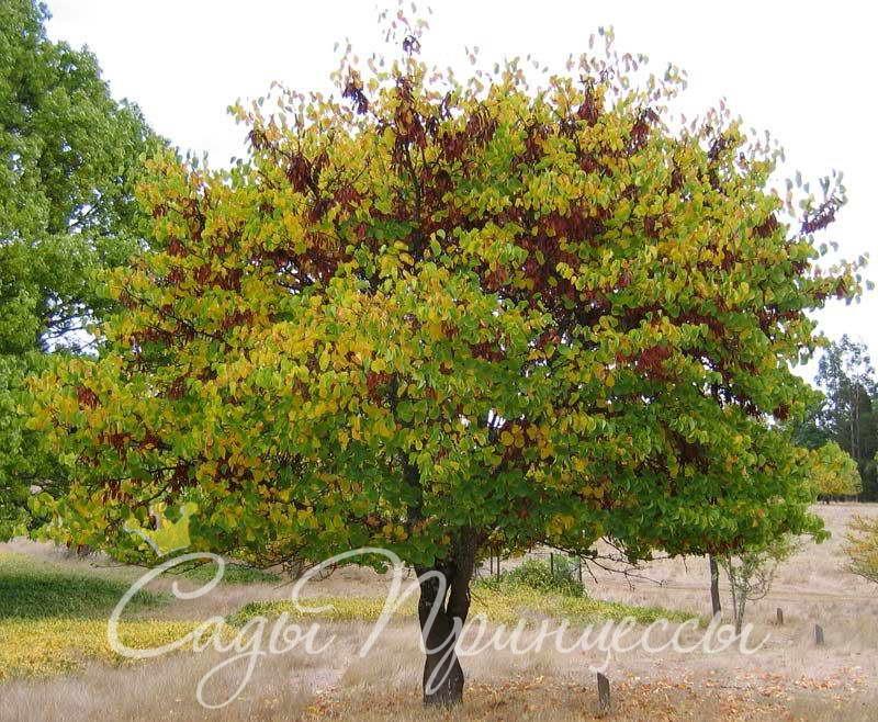Купить Багрянник европейский (он же Церцис или Иудино дерево)