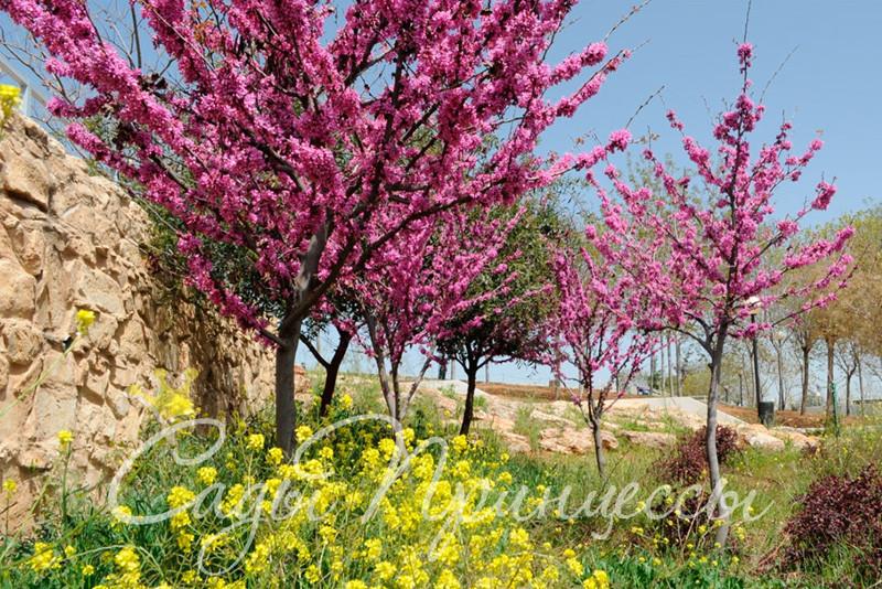 Фото Багрянник европейский (он же Церцис или Иудино дерево)