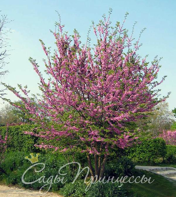 На фото сорт Багрянник европейский (он же Церцис или Иудино дерево)