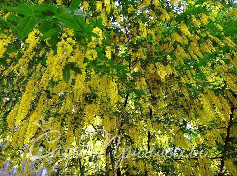 Фото Бобовник альпийский (Laburnum alpinum)