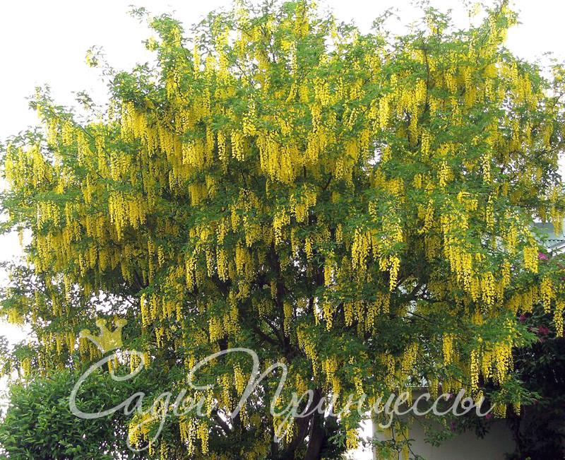 Фото Бобовник альпийский (Laburnum alpinum);