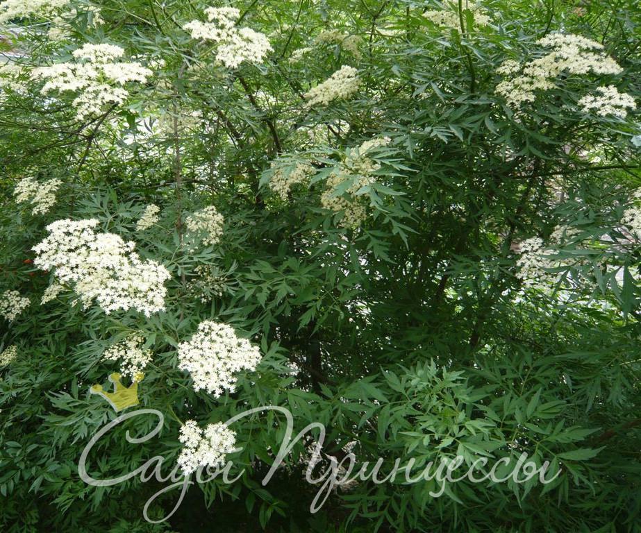 На фото сорт Бузина чёрная Лациниата (Laciniata)