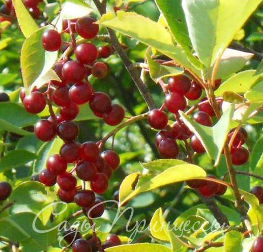 На фото сорт Черемуха Виргинская (Prunus virginiana)