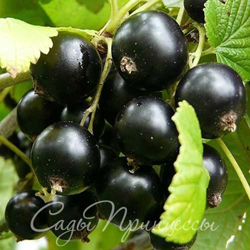На фото сорт Смородина черная Добрыня