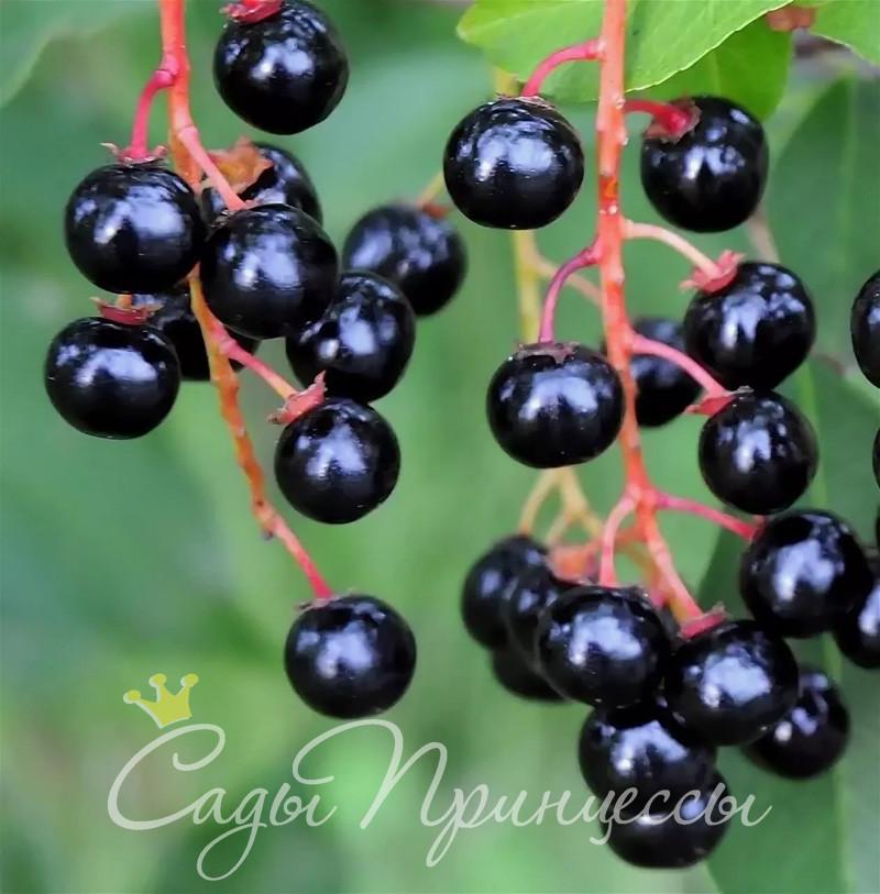 На фото сорт Черемуха обыкновенная (Prunus padus)