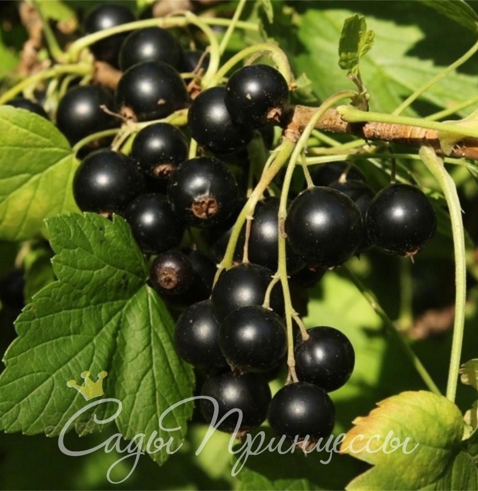 На фото сорт Смородина черная Сюрприз