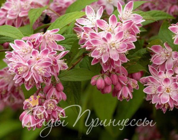 На фото сорт Дейция Розовая (Deutzia rosea)