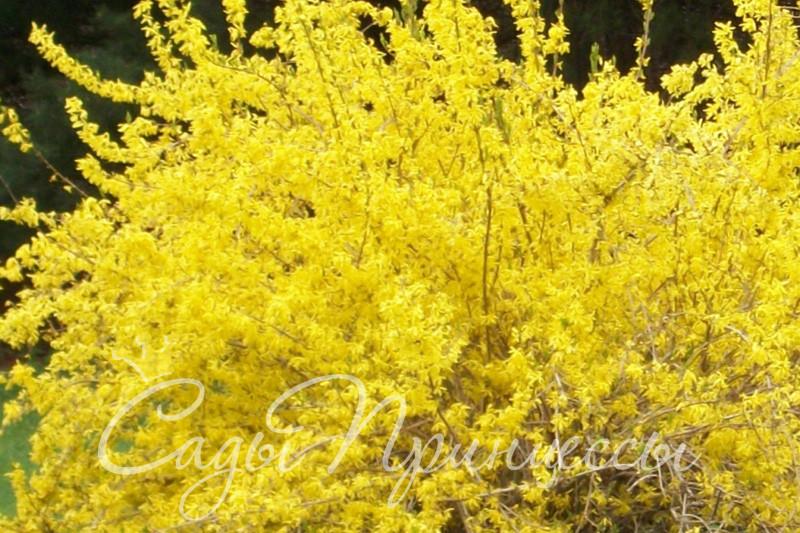 Фото Форзиция Спринг Глори (Spring Glory)