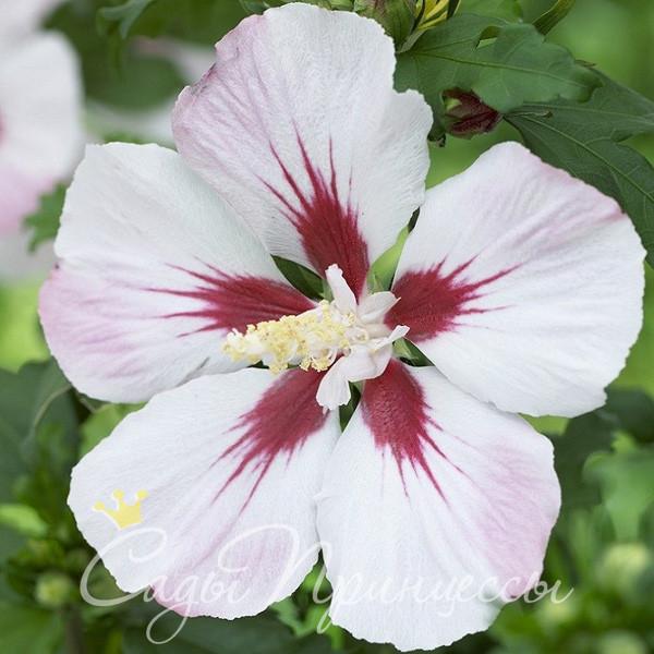 На фото саженцы Гибискус сирийский Хамабо (Hibiscus syriacus Hamabo)