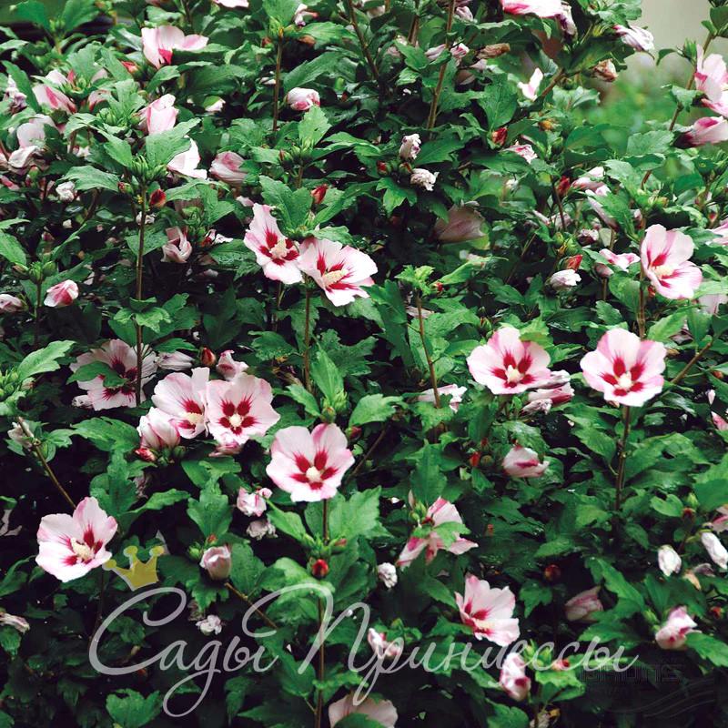 Фото Гибискус сирийский Хамабо (Hibiscus syriacus Hamabo)
