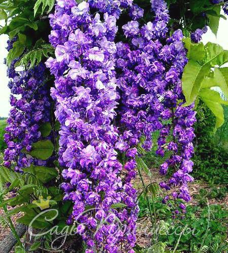 На фото саженцы Глициния Виолацеа Плена (Violacea Plena)