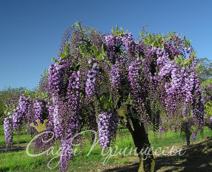 На фото сорт Глициния Виолацеа Плена (Violacea Plena)