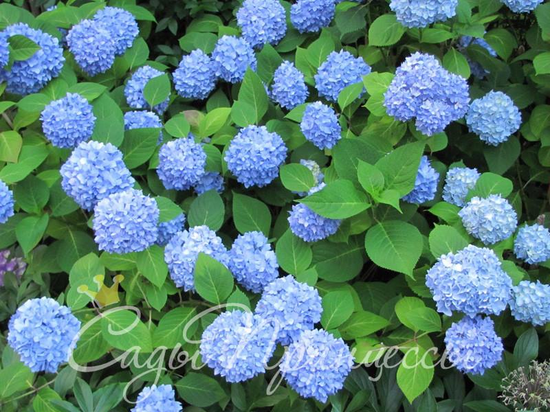 На фото саженцы Гортензия крупнолистная Никко Блю (Nikko Blue)