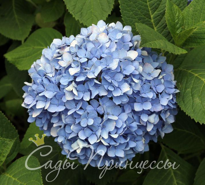 На фото сорт Гортензия крупнолистная Никко Блю (Nikko Blue)