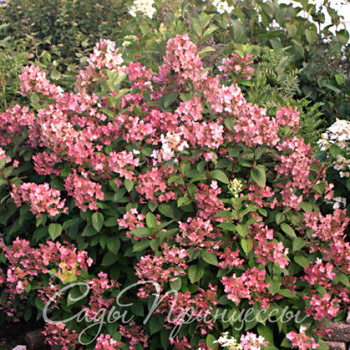 На фото сорт Гортензия метельчатая Пинк Квин (Куин, Pink Queen)