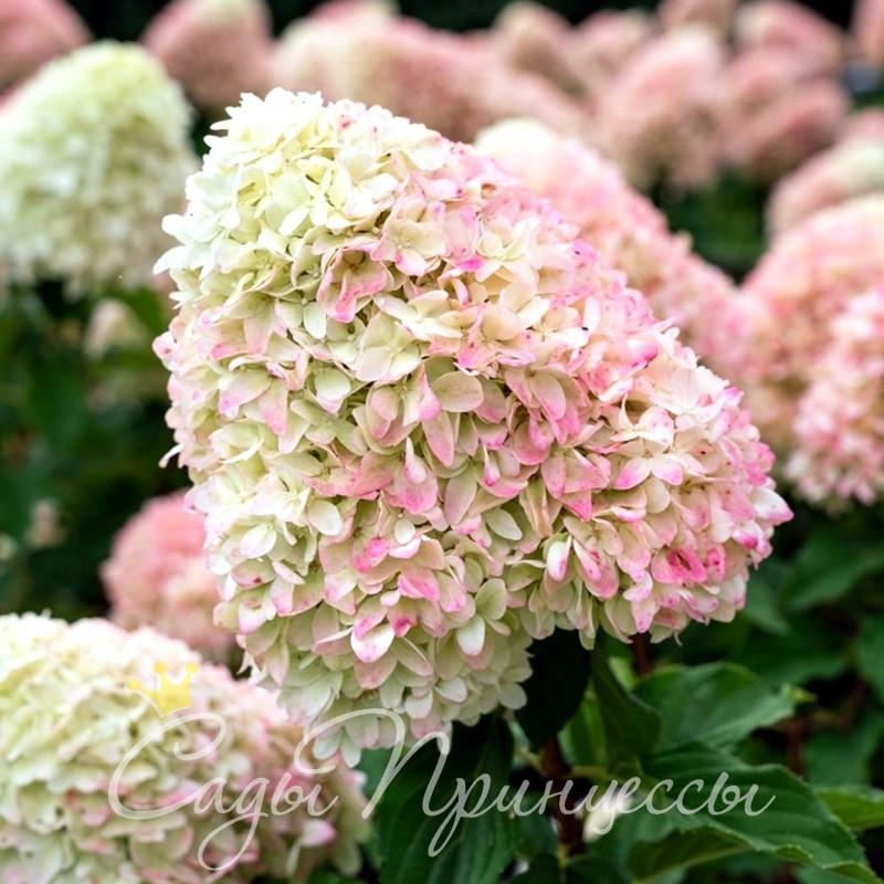 Фото Гортензия метельчатая Саммер Лав (Summer Love);