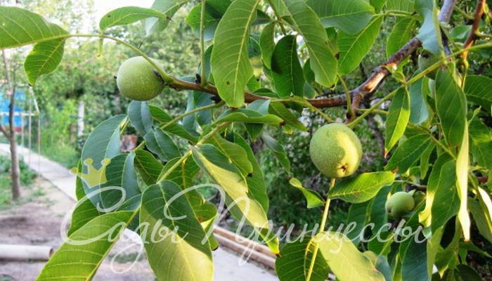 На фото сорт Грецкий орех Бахчисарайский