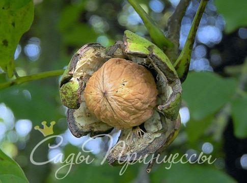 Фото Грецкий орех Изобильный
