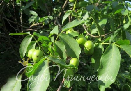 На фото сорт Грецкий орех Садко