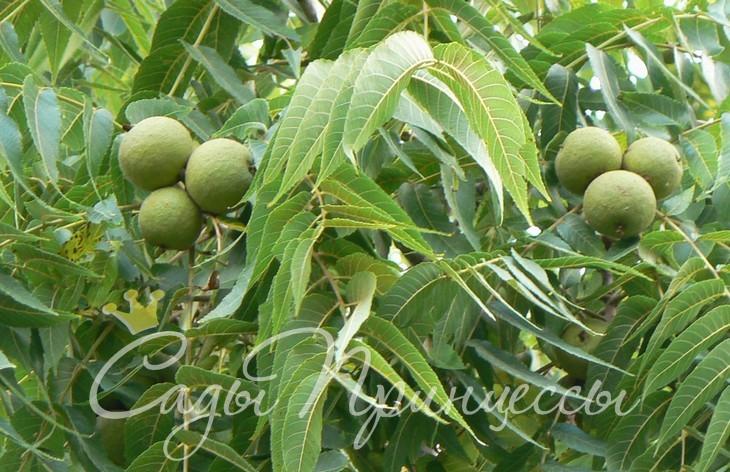 На фото сорт Грецкий орех Скороплодный