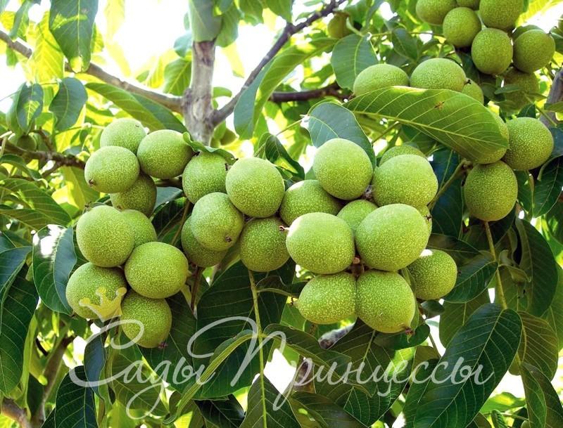 На фото сорт Грецкий орех Урожайный