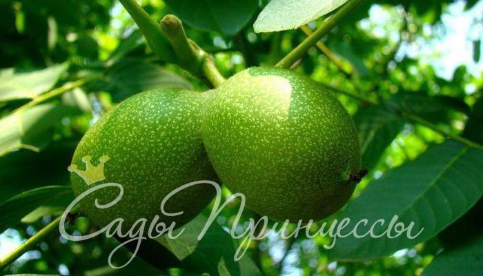 На фото сорт Грецкий орех Великан