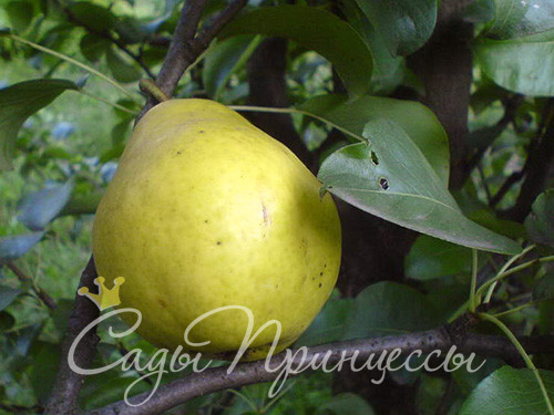 На фото сорт Груша домашняя Лимонка