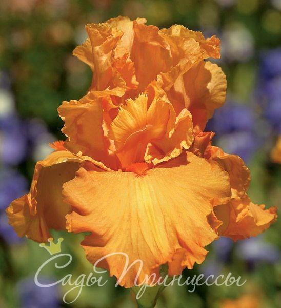 На фото сорт Ирис Априкот Силк (Apricot Silk)