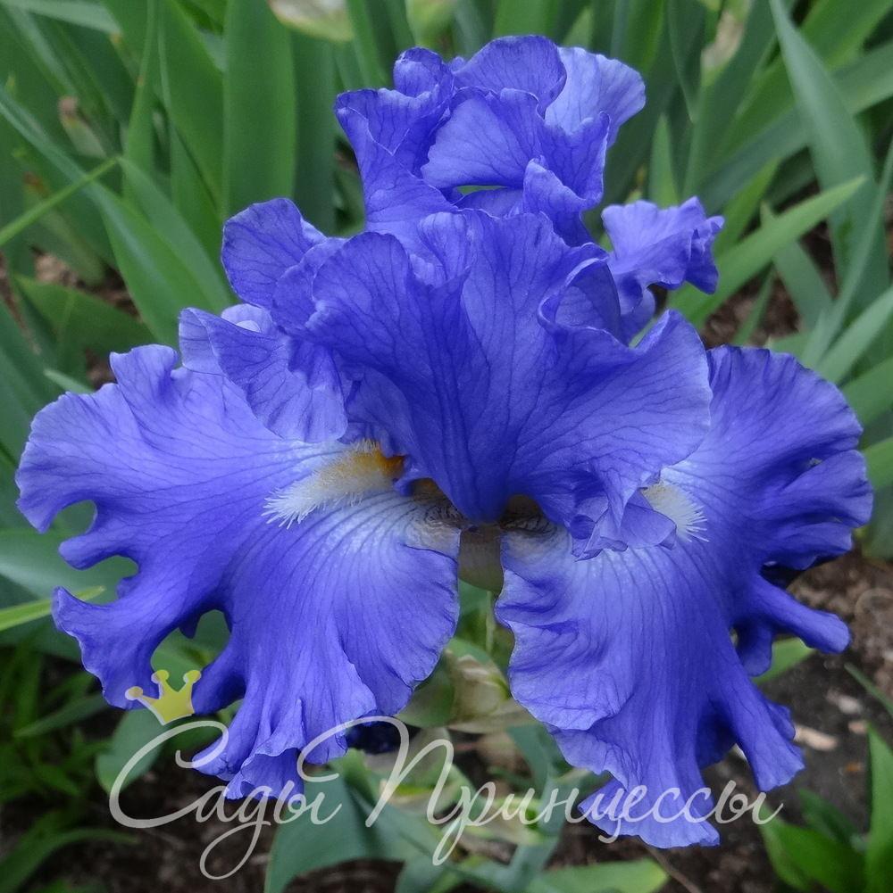 На фото сорт Ирис Якина Блю (Yaquina Blue)