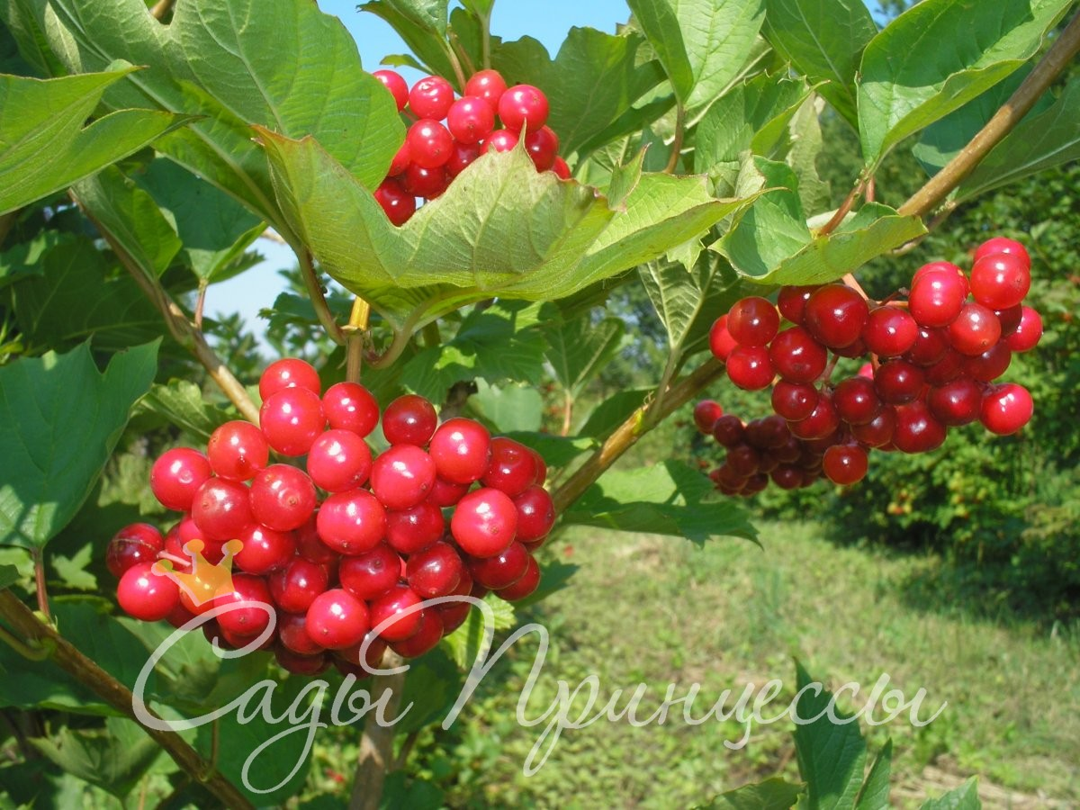 На фото сорт Калина Красная гроздь