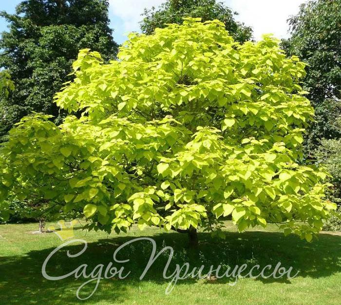 Фото Катальпа бигнониевидная Ауреа (Catalpa bignonioides Aurea)