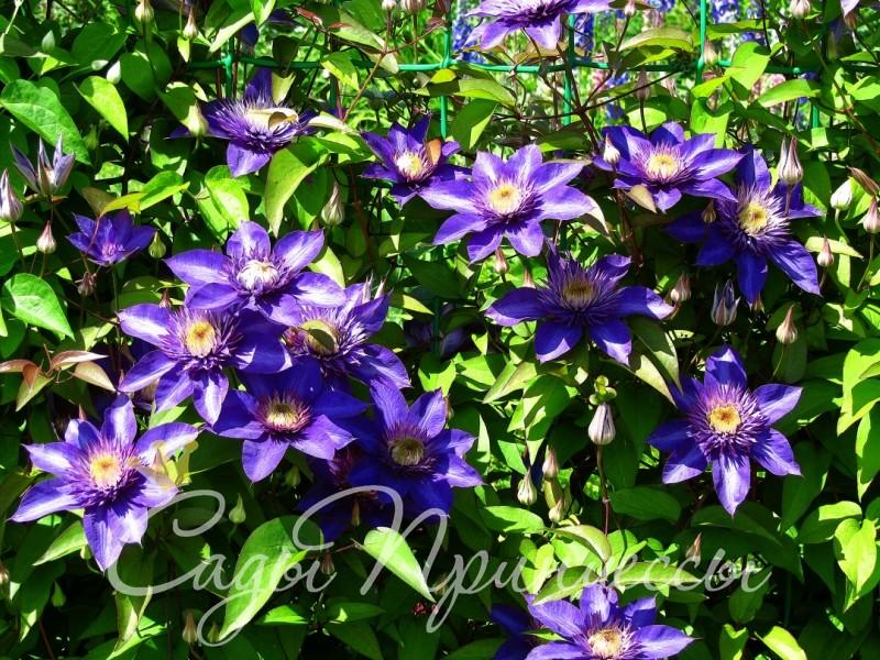 Фото Клематис Мульти Блю (Multi Blue)