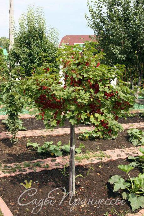 На фото сорт Смородина красная на штамбе