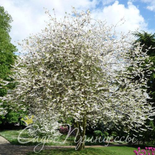 Ландышевое дерево (Галезия)
