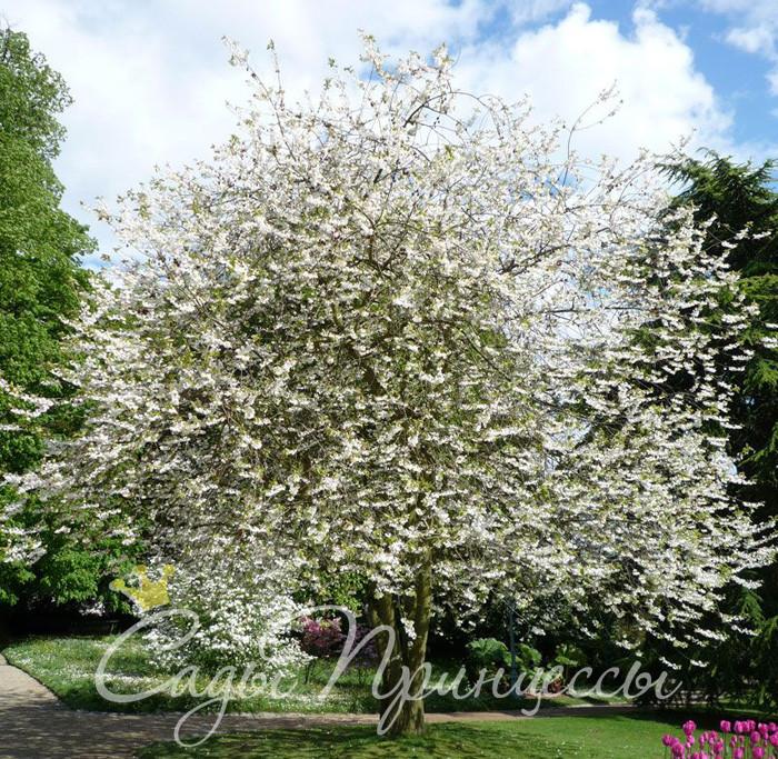 Фото Ландышевое дерево Галезия Каролинская (Halesia Carolina);