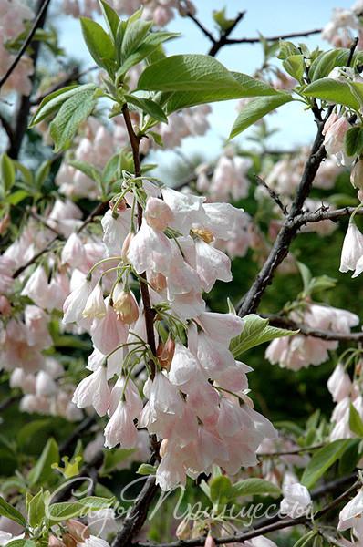 На фото саженцы Ландышевое дерево Галезия Каролинская Розеа (Пинк)
