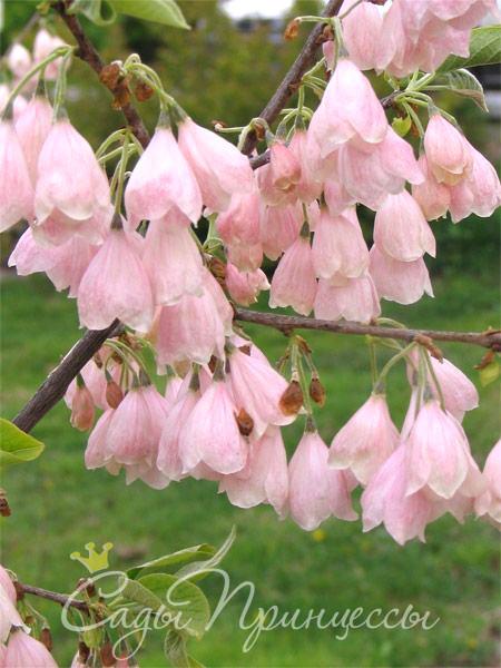 Фото Ландышевое дерево Галезия Каролинская Розеа (Пинк)