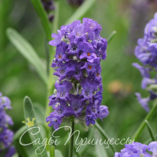 Фото Лаванда Элеганс Пурпл (Перпл, Ellagance Purple);
