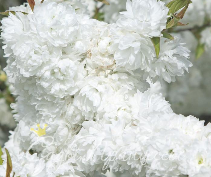 На фото сорт Миндаль декоративный Белый парус