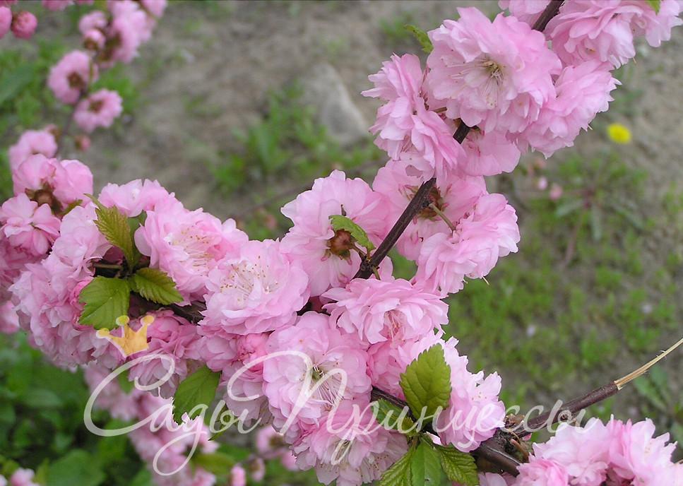 На фото сорт Миндаль декоративный Розовый фламинго
