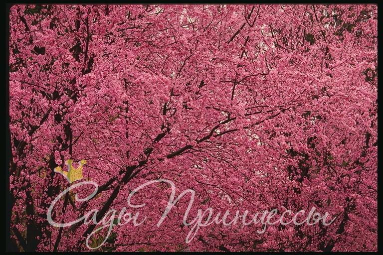 Фото Миндаль декоративный Розовый туман