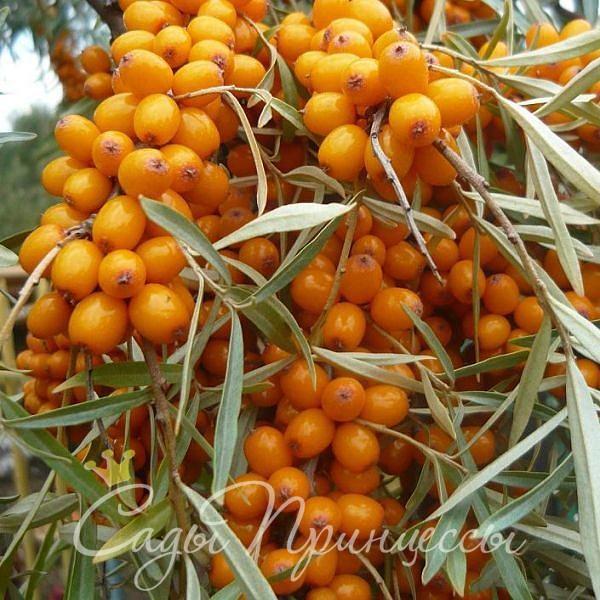 На фото сорт Облепиха Золотой початок