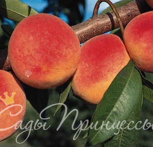 Гибриды персика