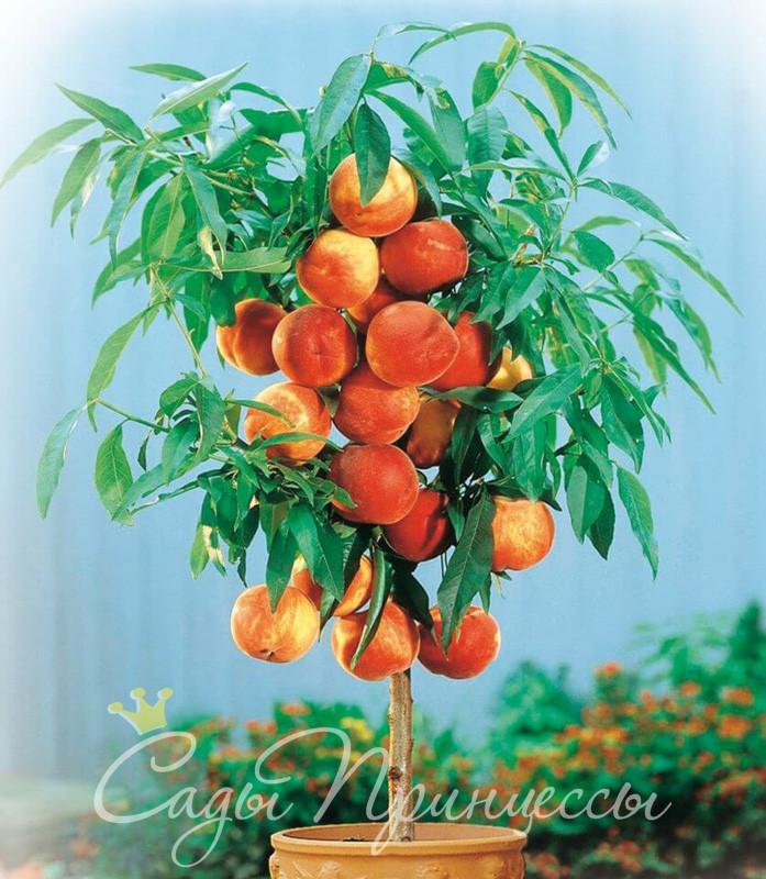 На фото сорт Персик колоновидный Тотем садовода
