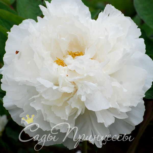 На фото сорт Пион Белый снег (Бай Сю Гонг Жу)