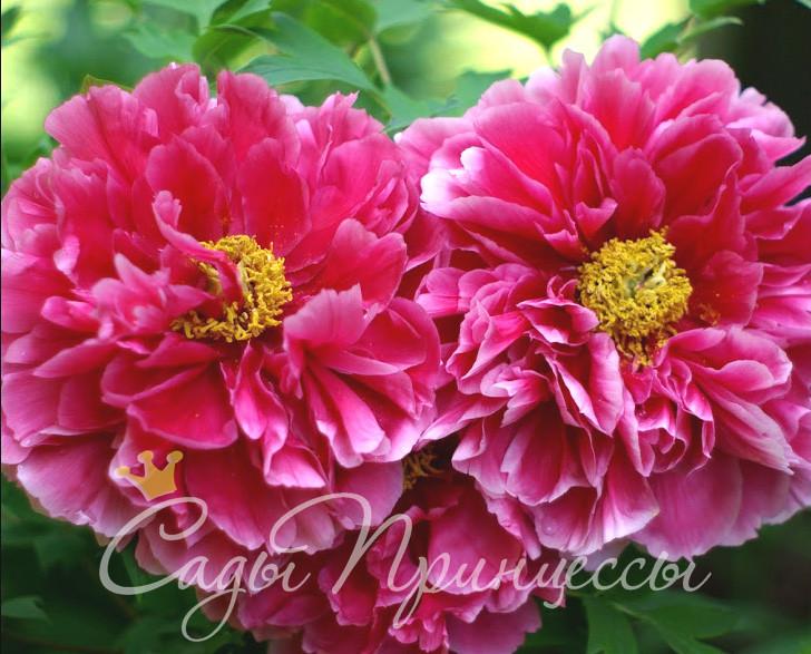 На фото сорт Пион Очаровательная весна