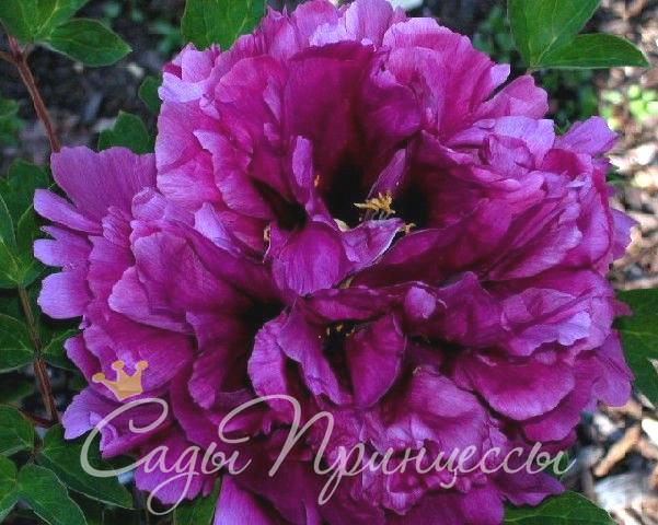 На фото сорт Пион Пурпурная ночь